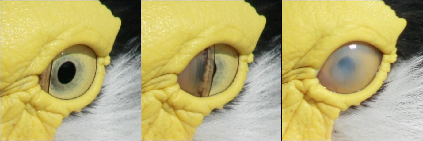 ogen van een krokodil