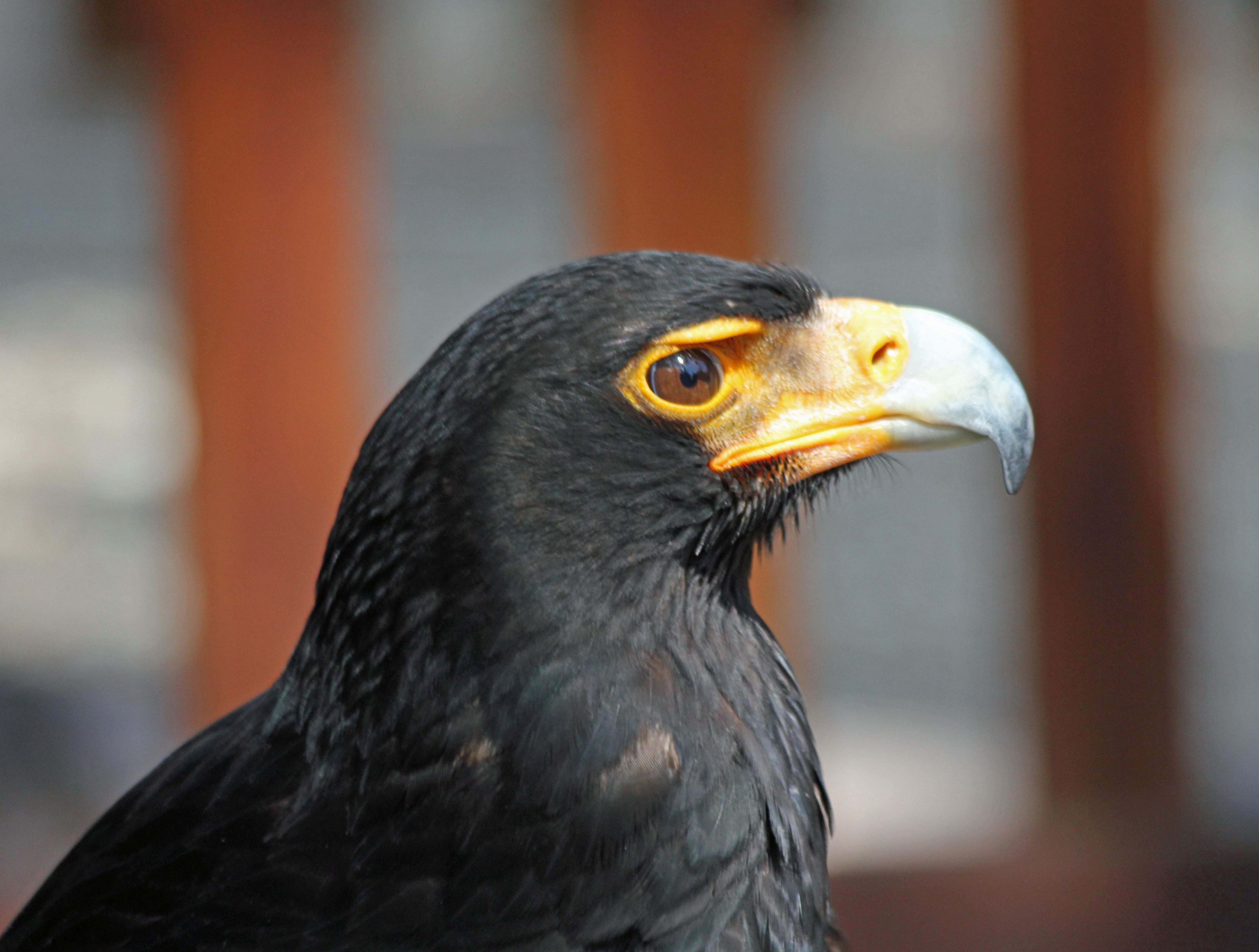 http://upload.wikimedia.org/wikipedia/commons/6/60/Black_Eagle_RWD.jpg