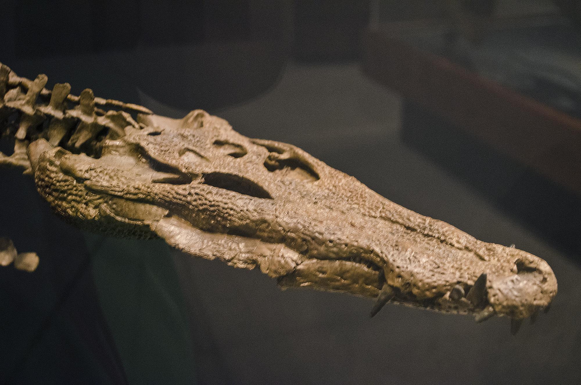 Borealosuchus.jpg