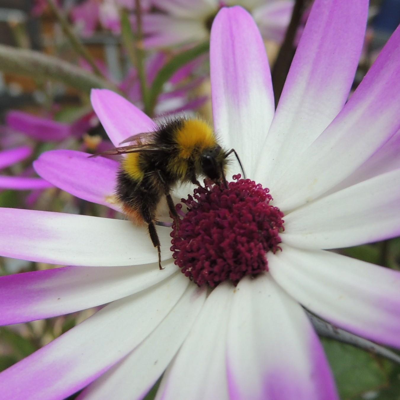 File Bumblebee on a flower Sandy Bedfordshire Wikimedia