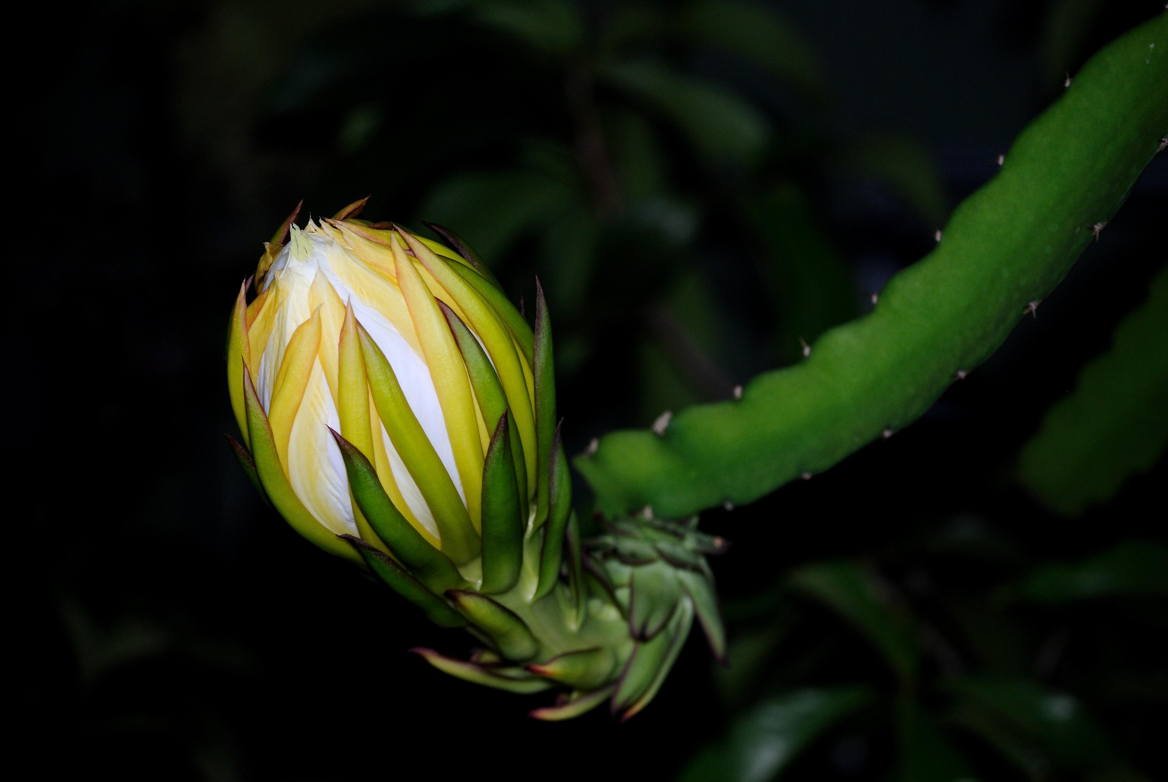 File:Bunga buah naga.jpg