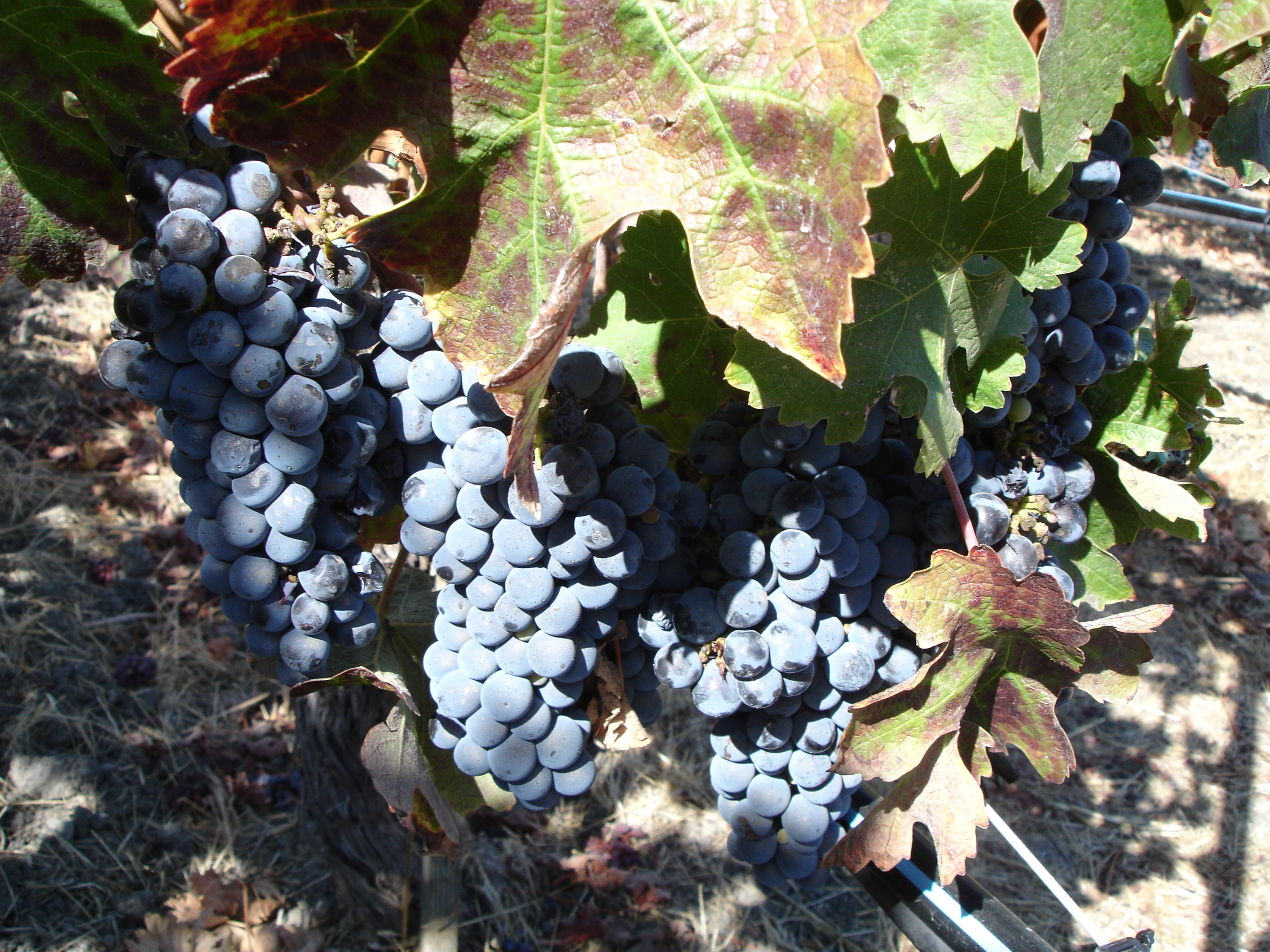 File Cabernet Grapes At Opus One Napa Valley California Usa Jpg Wikimedia Commons