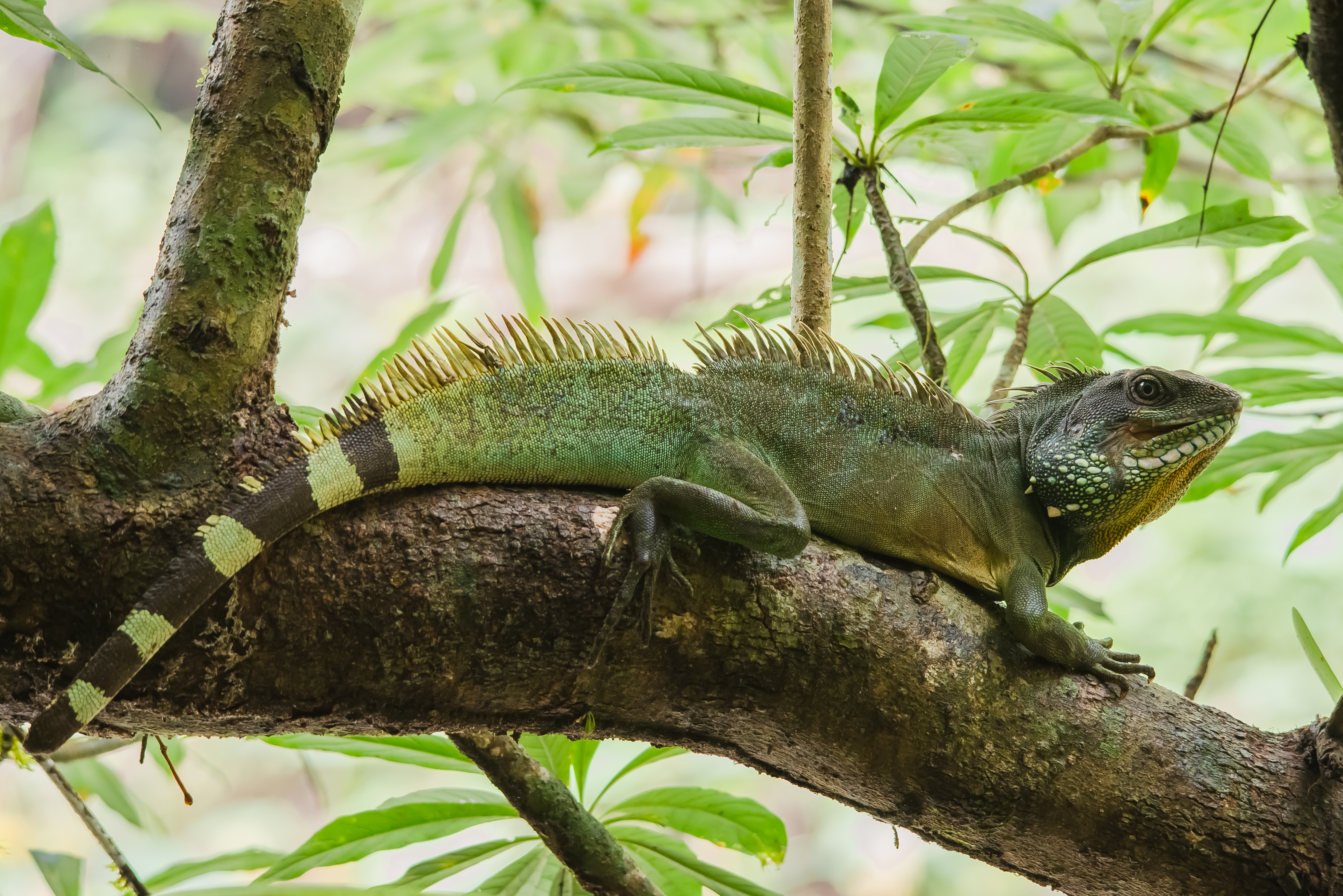 File:Chinese Water Dragon (Physignathus cocincinus) - Khao ...