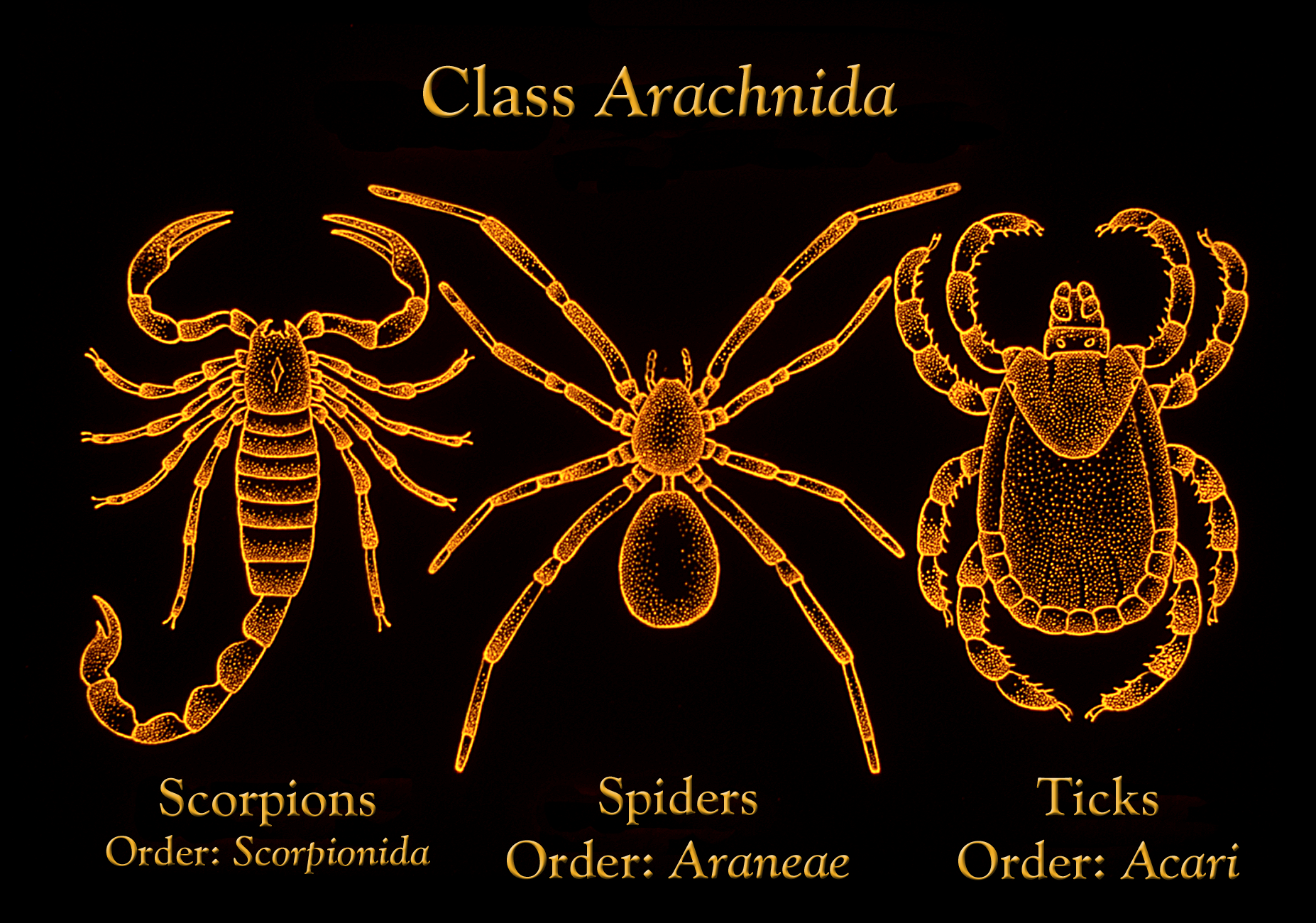 Class Arachnida - Kingdomforeasy
