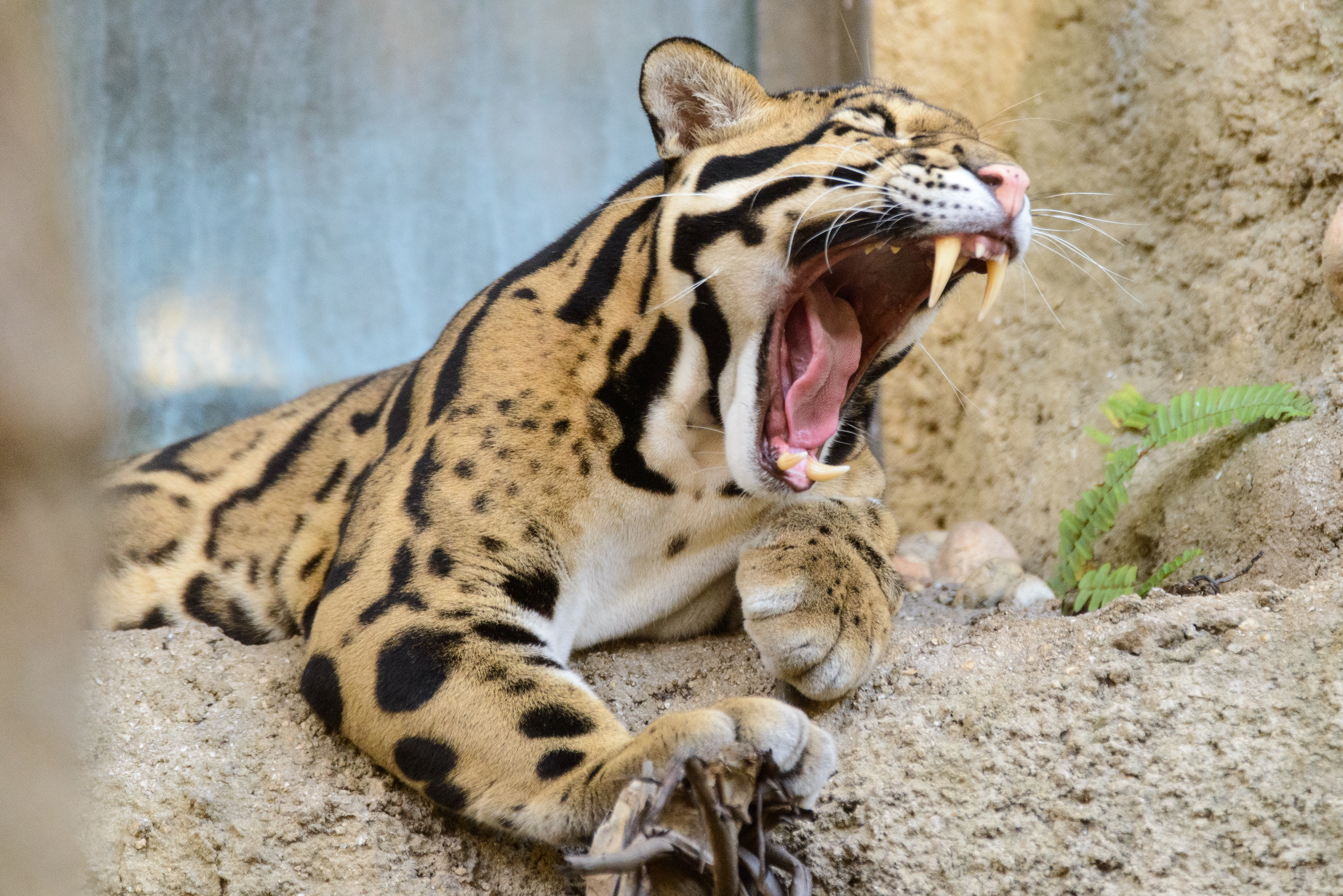 Bornean Clouded Leopard Teeth BEAUTIFUL & MAJEST...