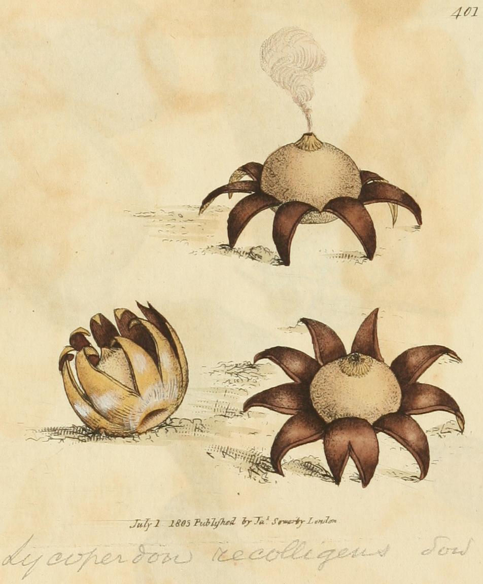 gwiazdosz brodawkowy (Geastrum corollinum)