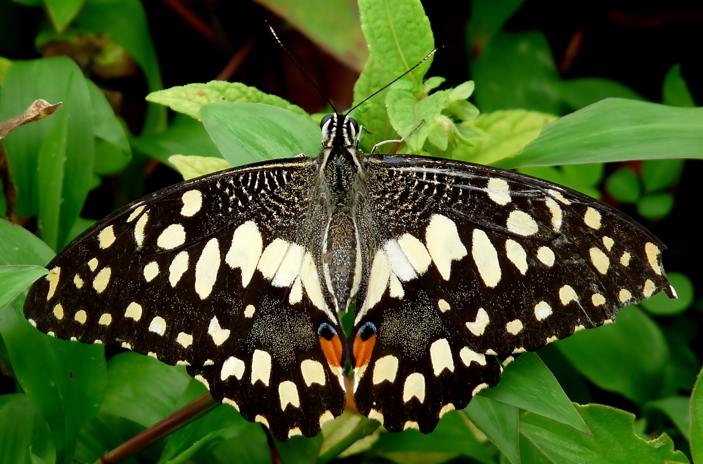 Filecommon Lime Butterfly Papilio Demoleus Up By Kadavoor