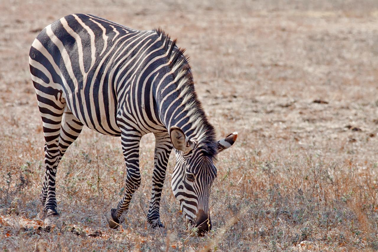 Zebra O Cebra Yahoo Equus quagga crawshayi...