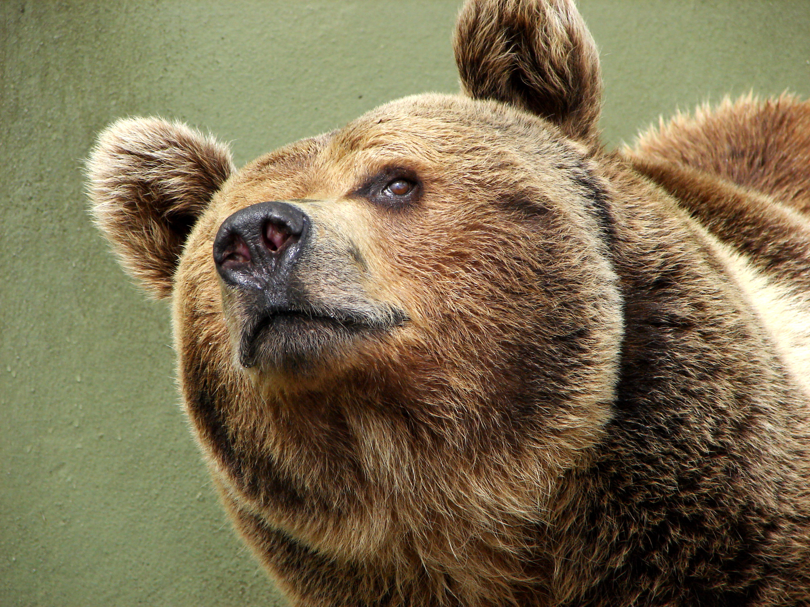 Brown bear - photo#11