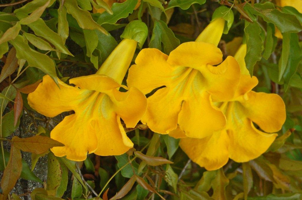 Macfadyena unguis Cats Claw vine pint plant