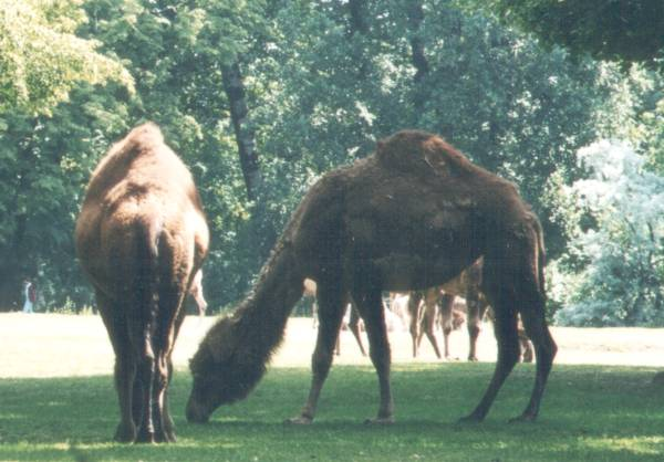 File:Dromedary at Tierpark Berlin.jpg