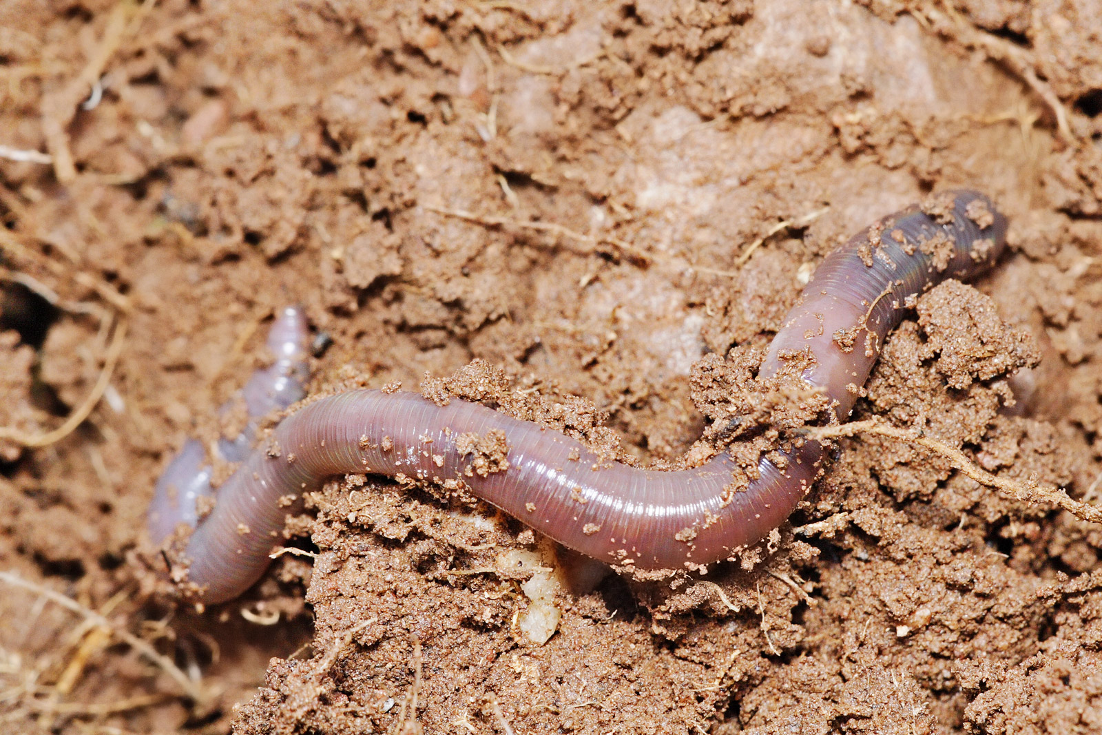 Earthworms are a good example