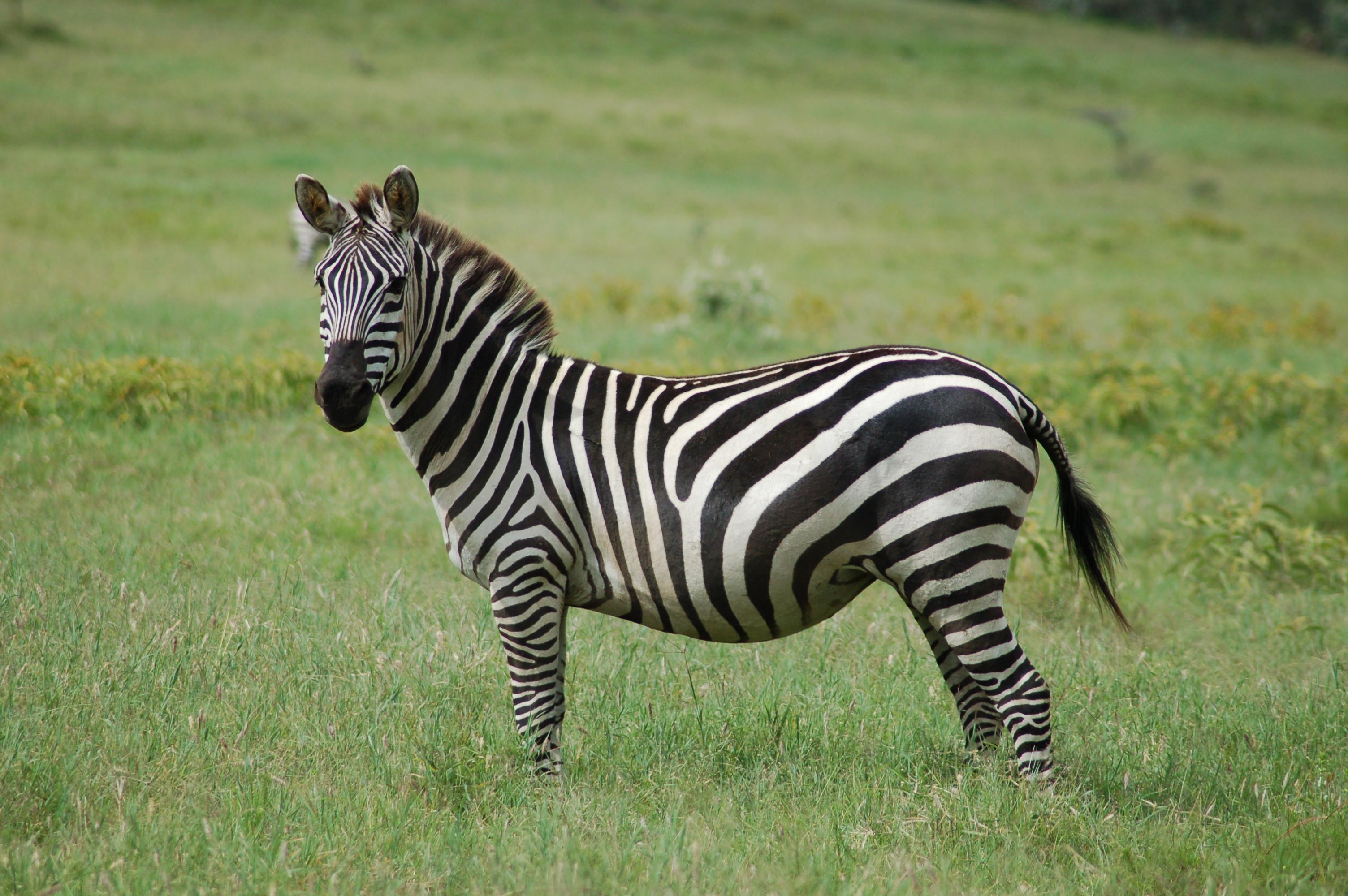 Grant's zebra - Wikipedia
