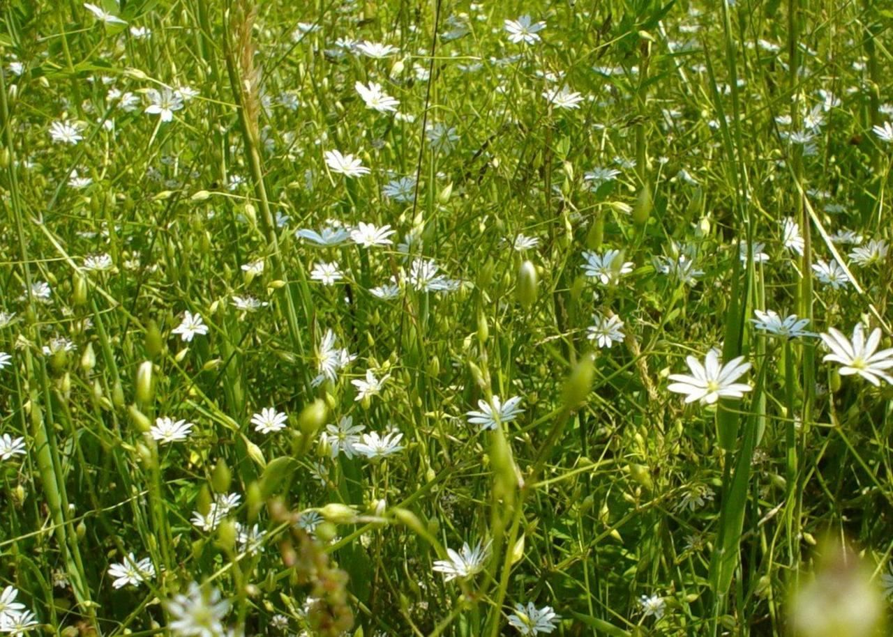 Filefield Of White Flowersg Wikimedia Commons