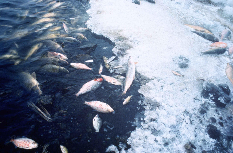 Fish kill - Wikipedia