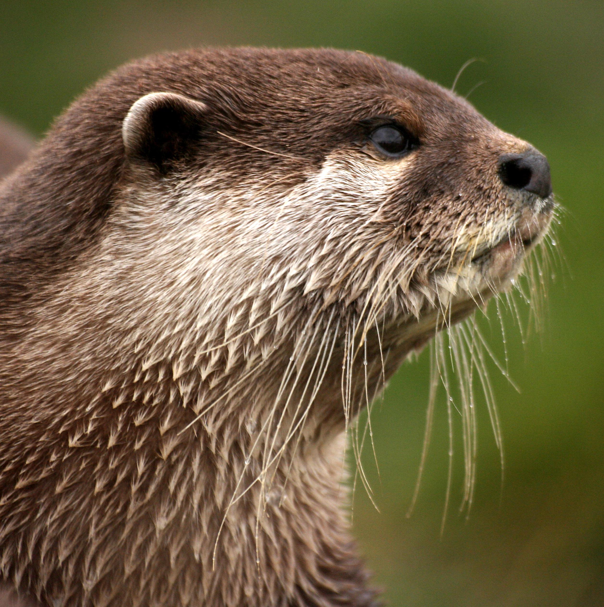 River otter face profile