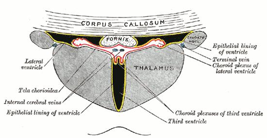 Tela choroidea wikipedia for Floor of 4th ventricle
