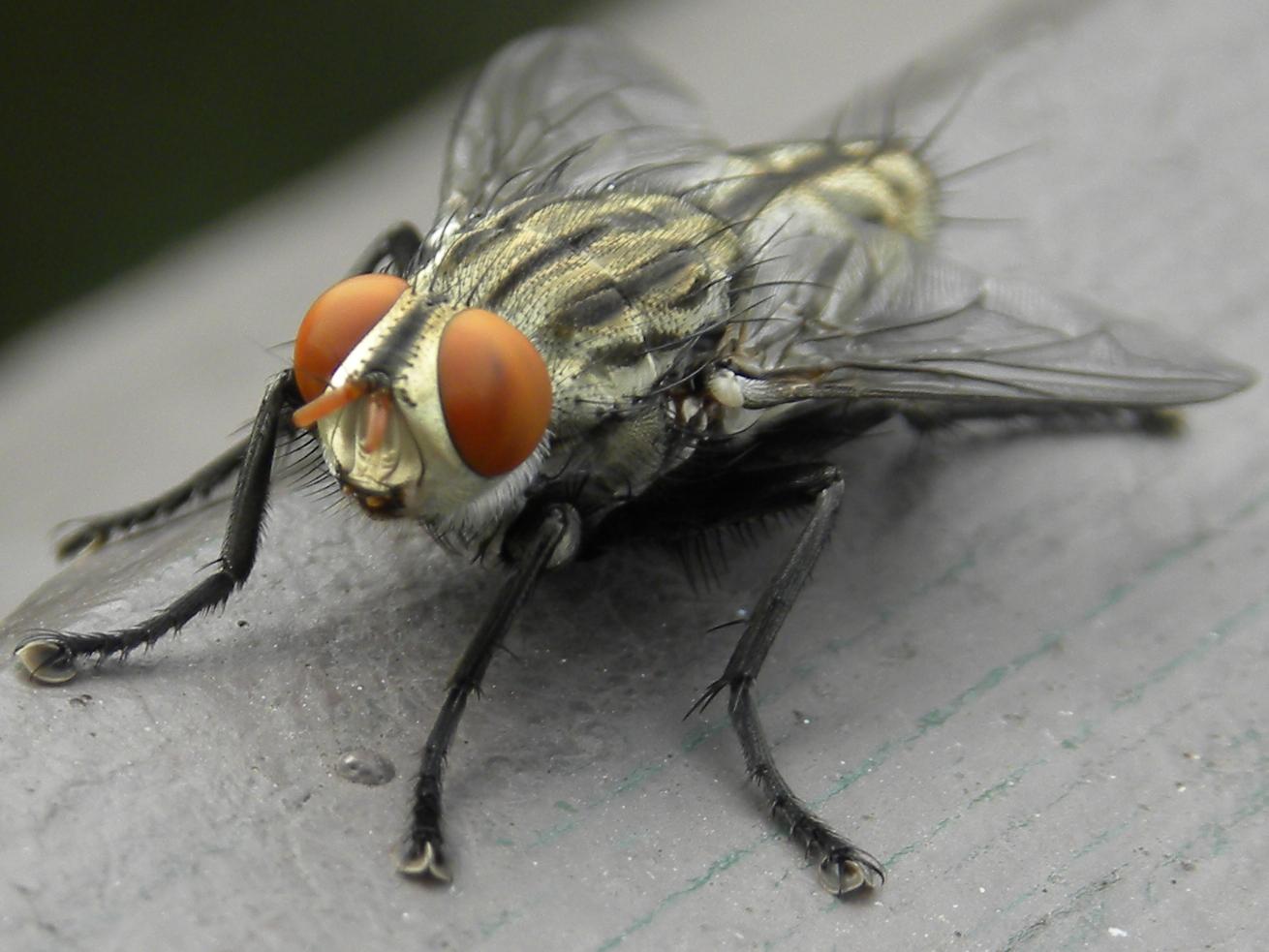 filgrey striped fly sarcophaga aurifronsjpg � wikipedia