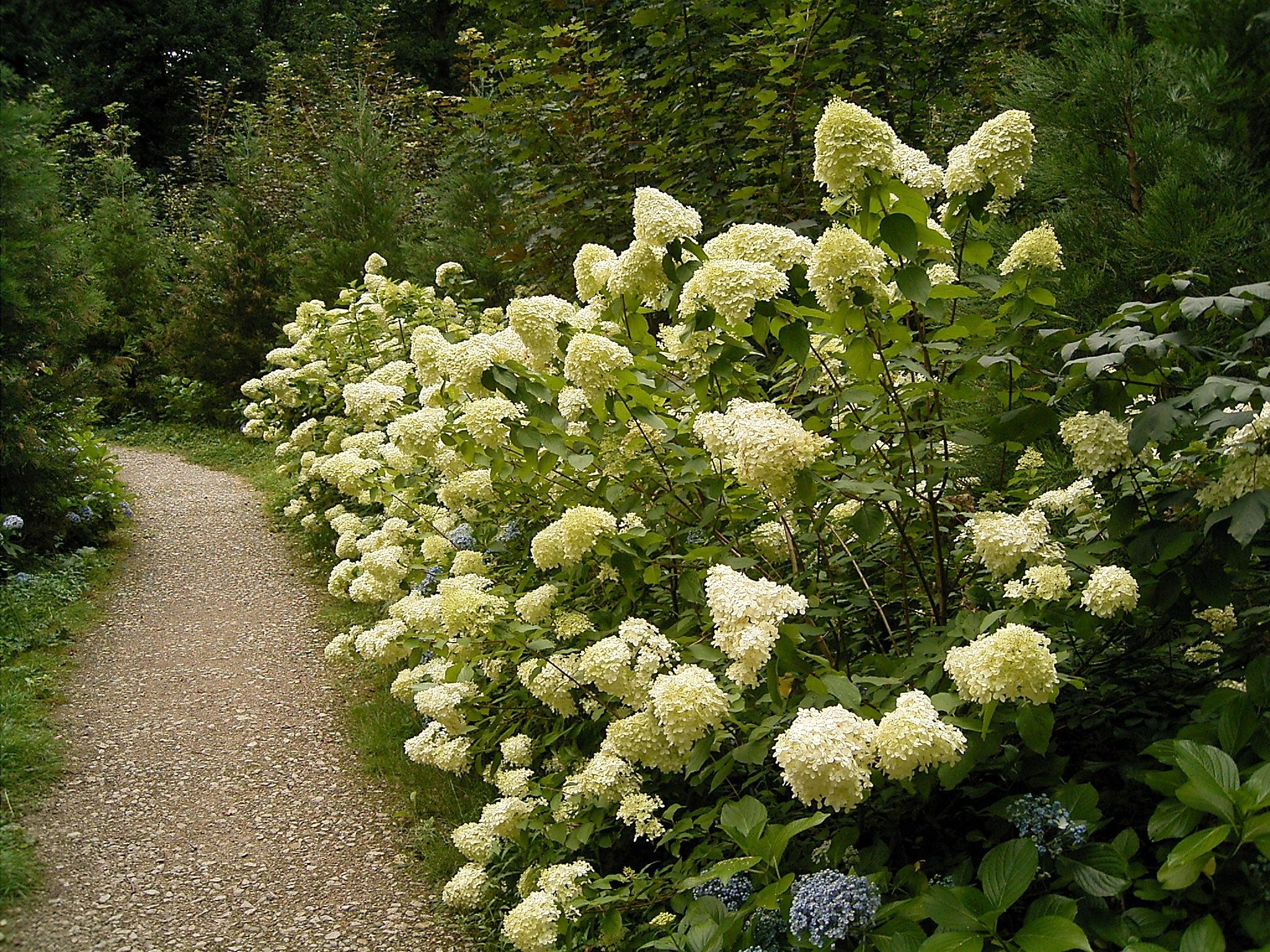 Cultivo de  hortensias - Guía para el cuidado de las hortensias - 3