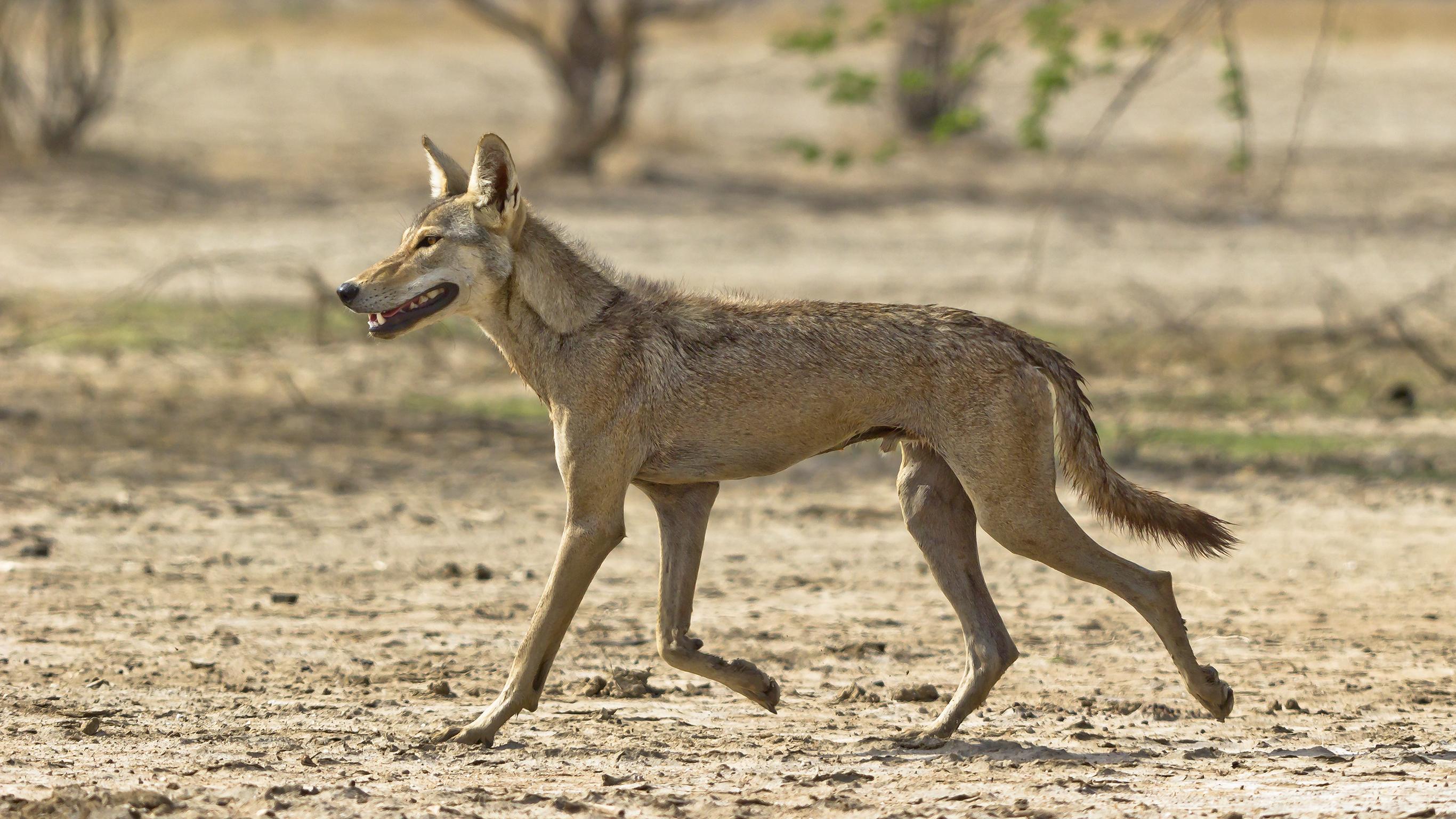 Indian wolf - Wikiwand