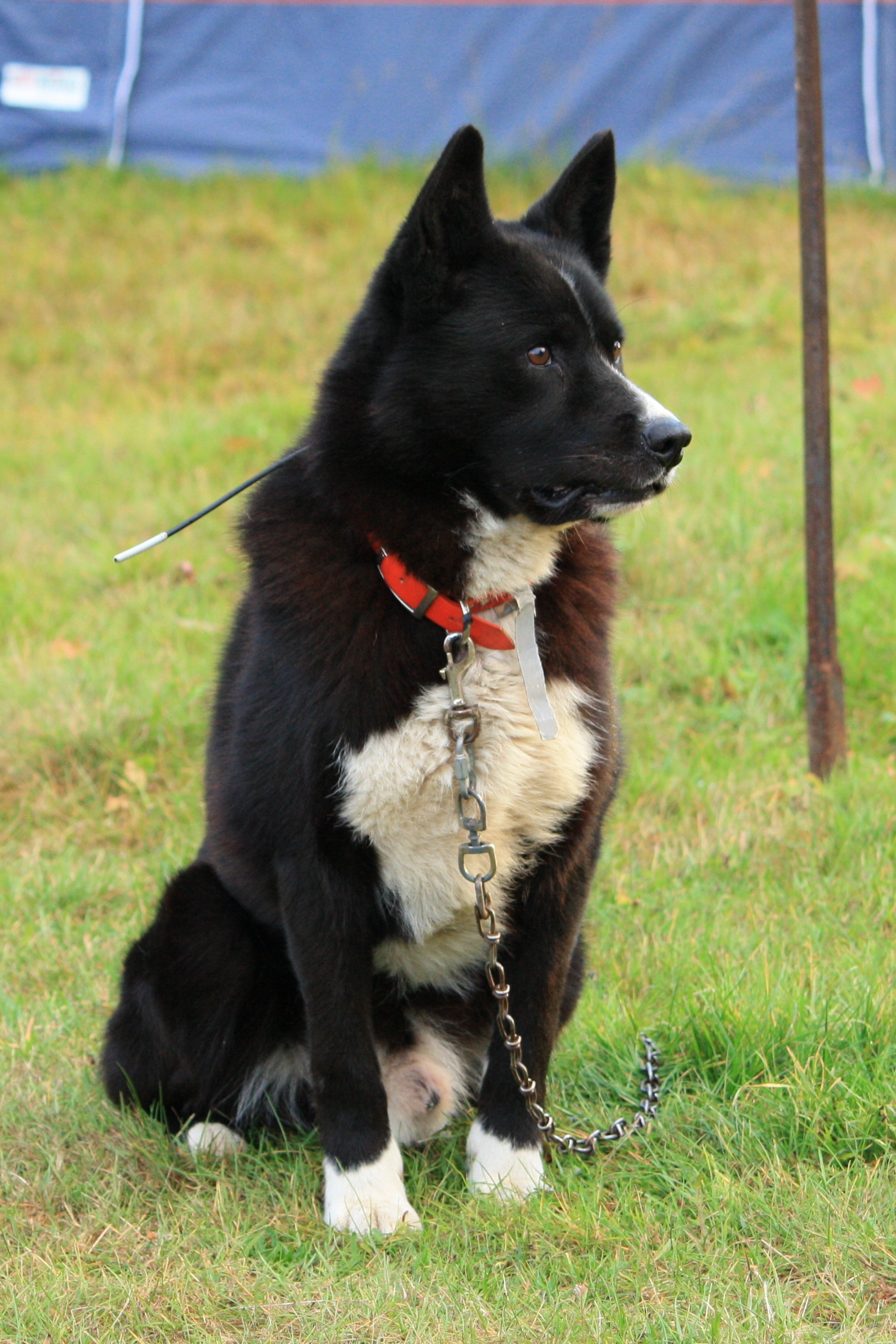 Karelian Bear Dog Breeders Australia