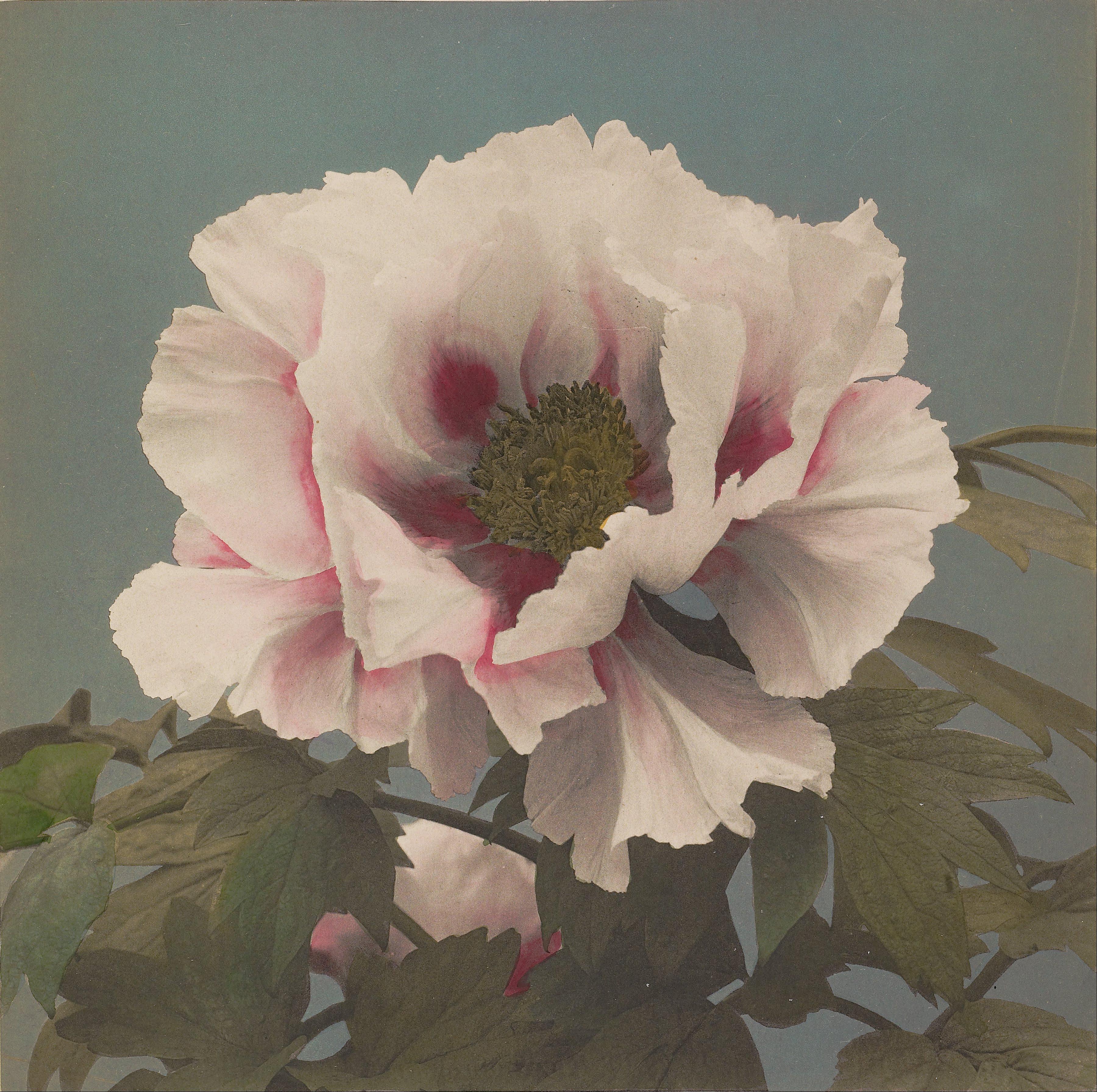 https://upload.wikimedia.org/wikipedia/commons/6/60/Kazumasa_Ogawa_%28Japanese_-_Tree_P%C3%A6ony_-_Google_Art_Project.jpg