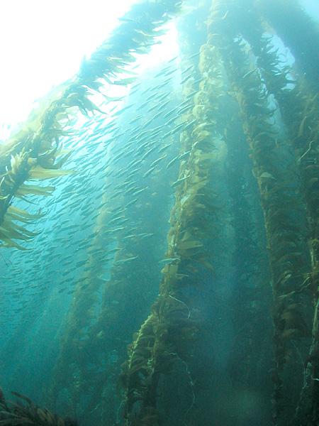 Morské riasy dosahujú obrovské rozmery