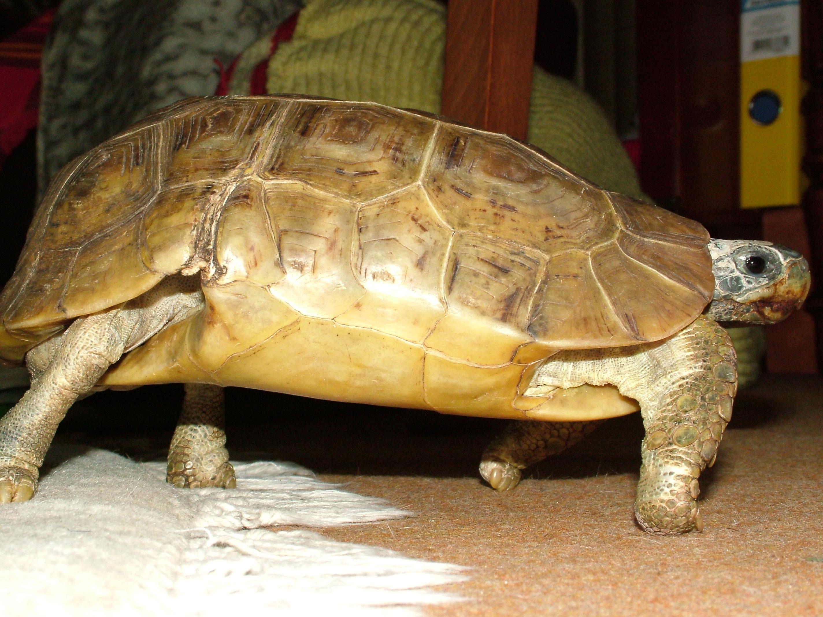 Bell's hinge-back tortoise - Wikipedia