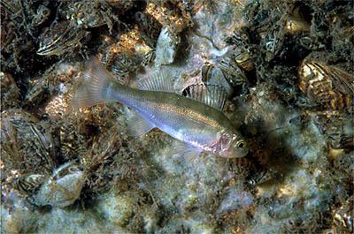 zoutwater vissen wiki