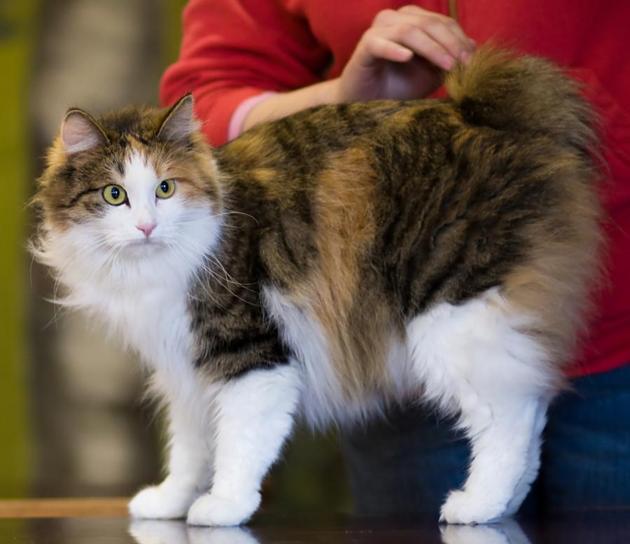 kurilský bobtail dlouhosrstý kočka černě želvovinová s bílou a s kresbou