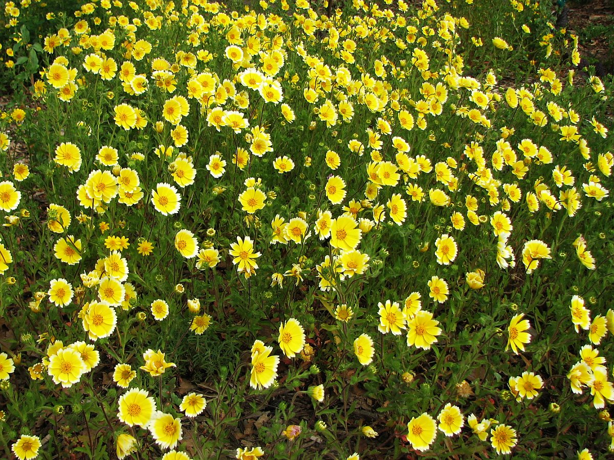 Flowers In Bloom Layia Platyglossa Wikipedia