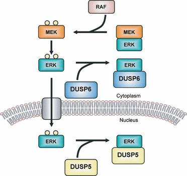 MAPK phosphatase - Wikipedia on