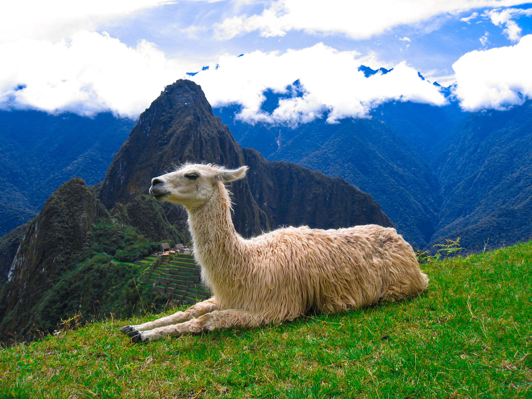 Llama In My Living Room Descarga Directa
