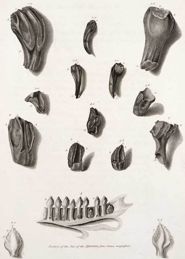 Mantell iguanadon teeth.jpg