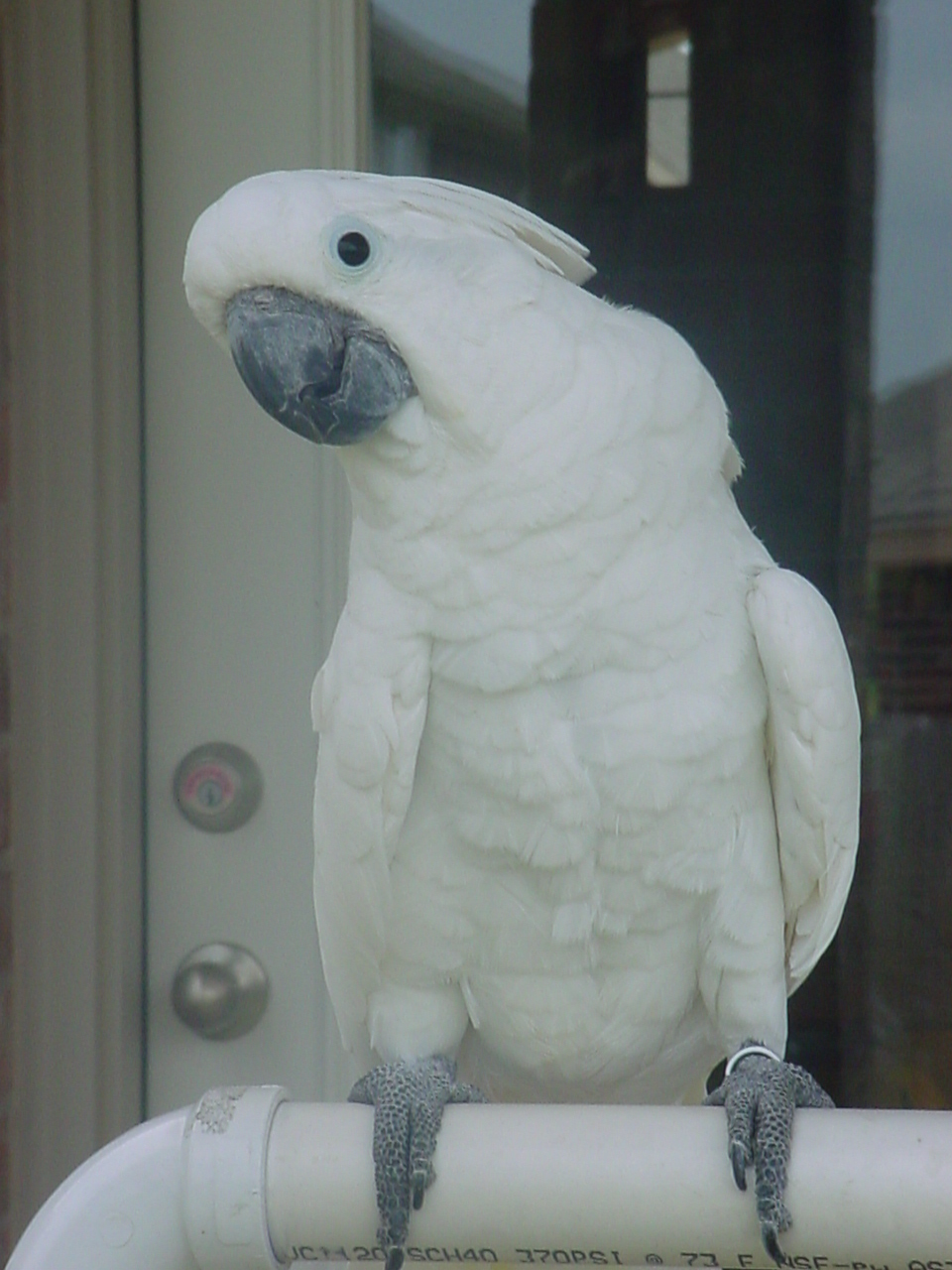 Umbrella Cockatoos - Pictures - Animals, Breeders, Puppies