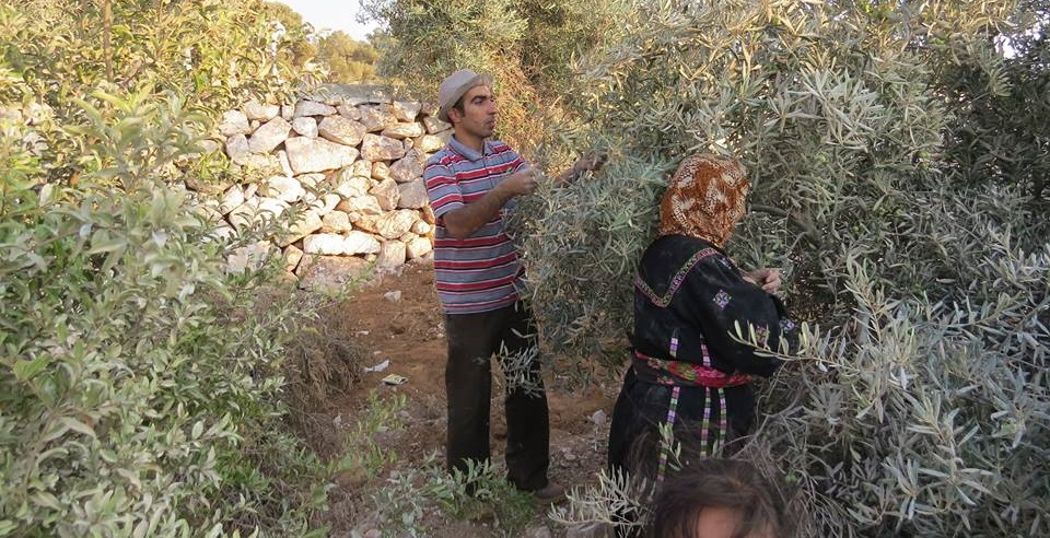 Image result for Israelis helping Palestine Olive Harvesting