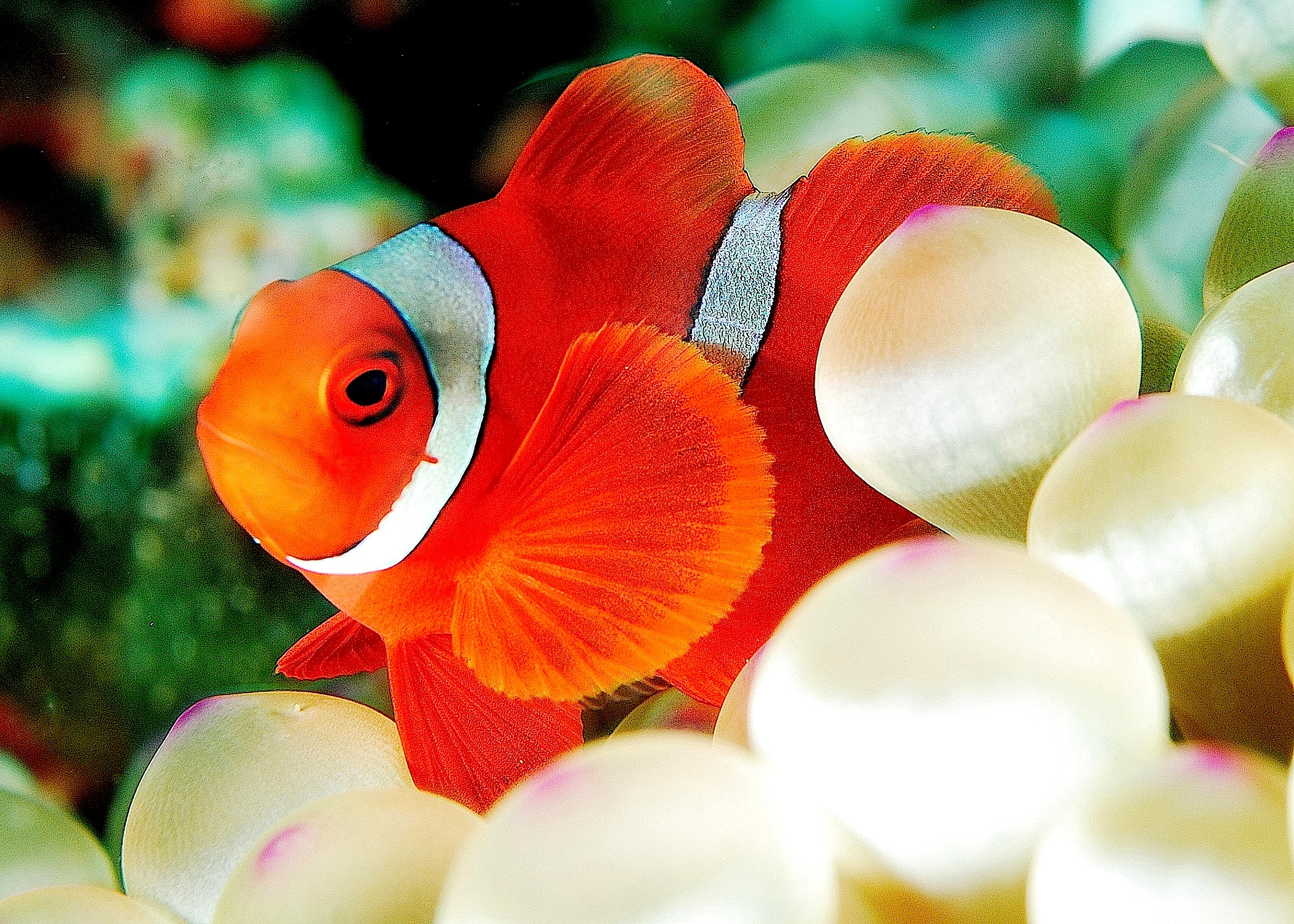 File premnas biaculeatus wikimedia commons for Clown fish size