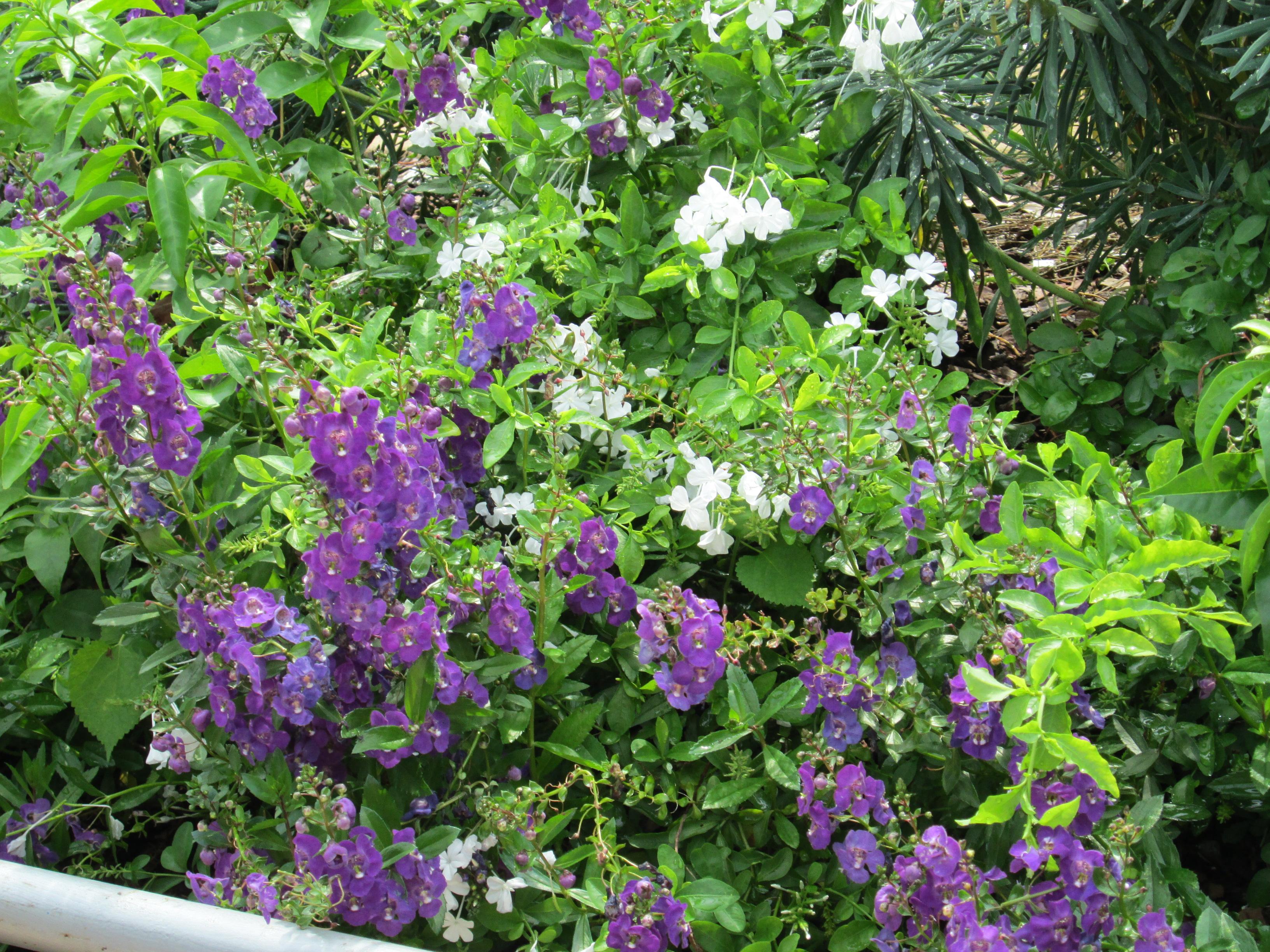 Description Purple flowering plants at FMNH.JPG