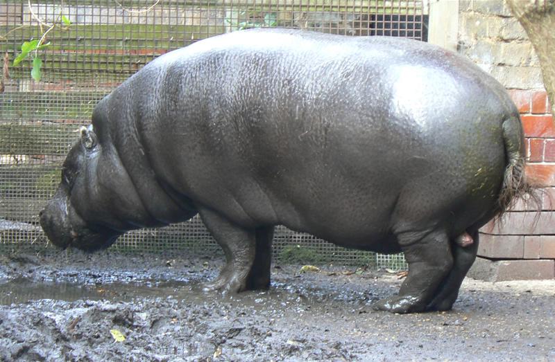 K Lite Hippo File File:Pygmy hippo, lond...