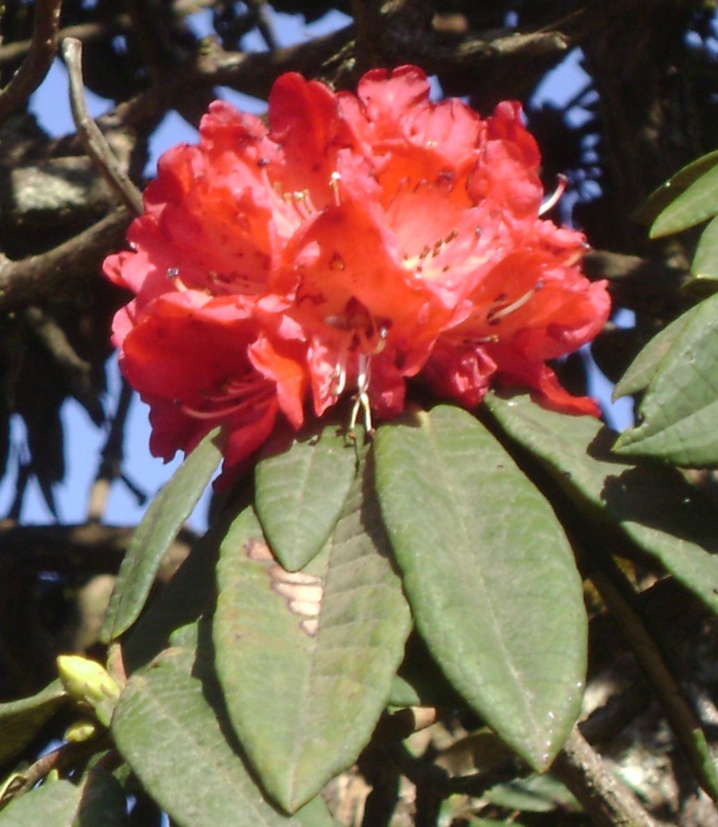 Rhododendron Arboreum Wikipedia
