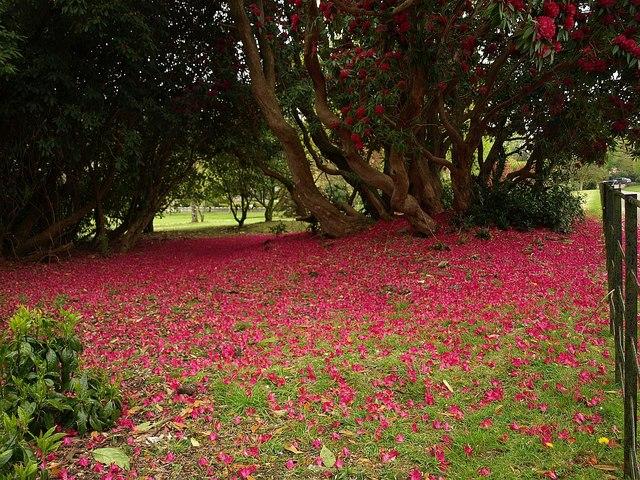 Rhododendron petals, Lanhydrock - geograph.org.uk - 1289015