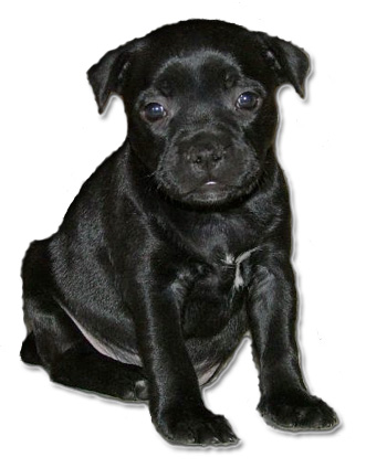 File staffordshire bull terrier puppy
