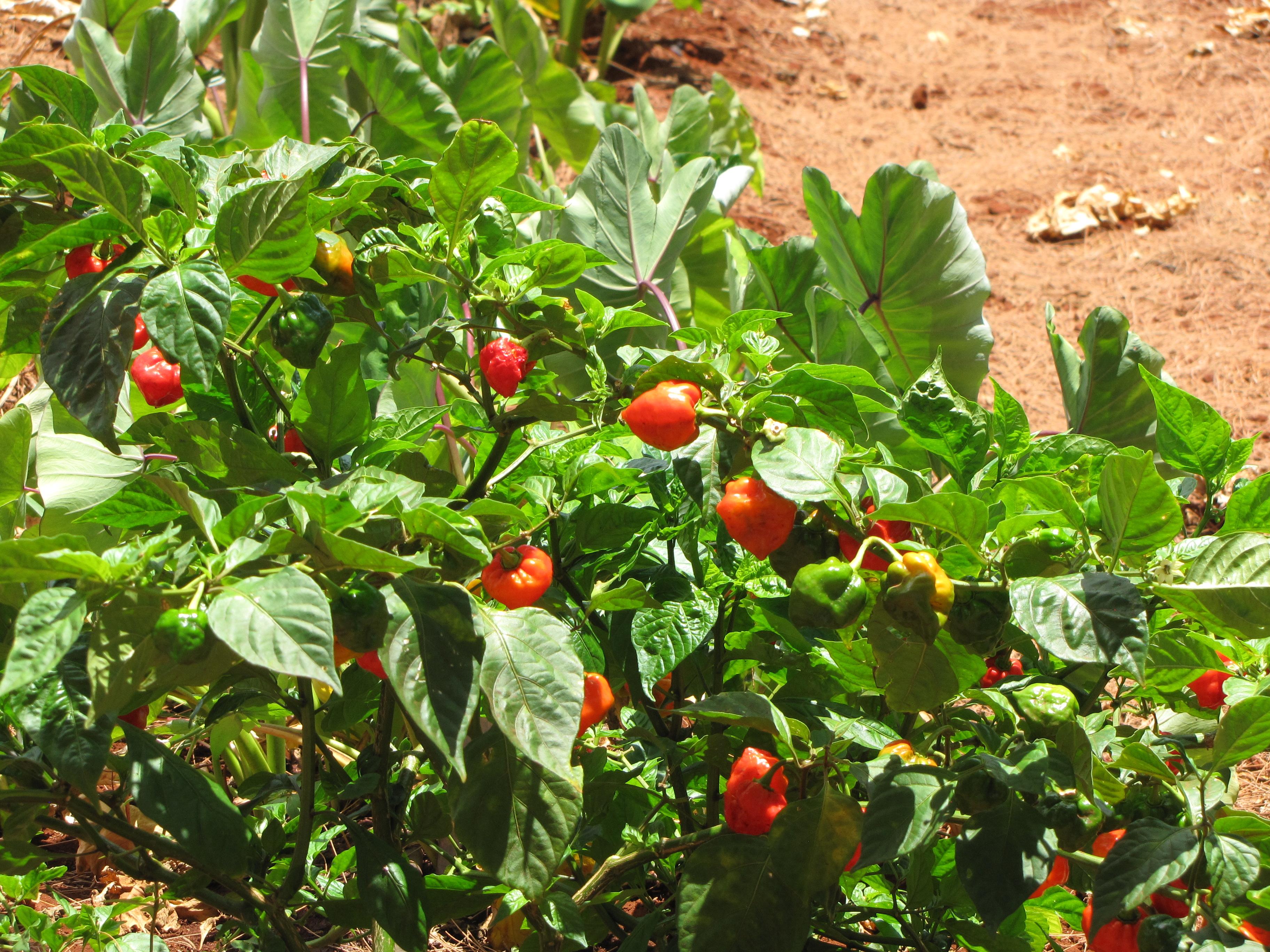 File:Starr-120702-7960-Capsicum annuum-habanero peppers fruiting habit-USDA  Plant Materials Center-Molokai (24818663919).jpg - Wikimedia Commons