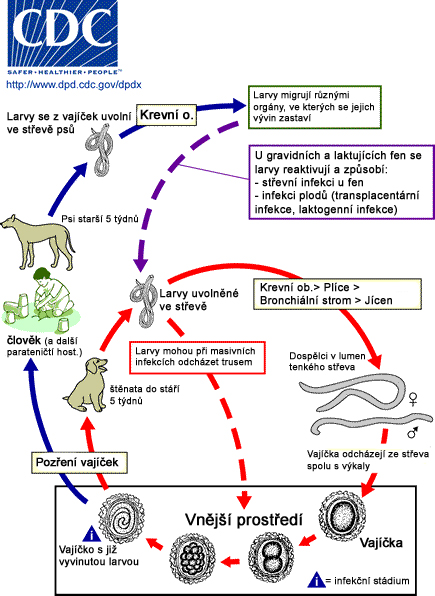 Soubor:T.canis life cycle in Czech 2.jpg