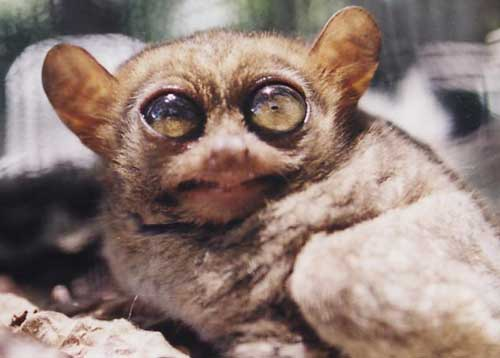 https://upload.wikimedia.org/wikipedia/commons/6/60/Tarsier.jpg