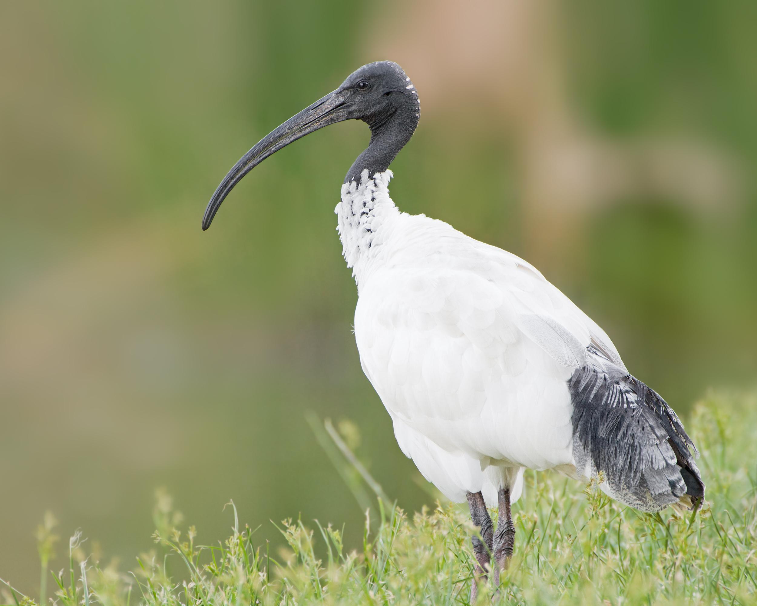 australian white ibis wikipedia