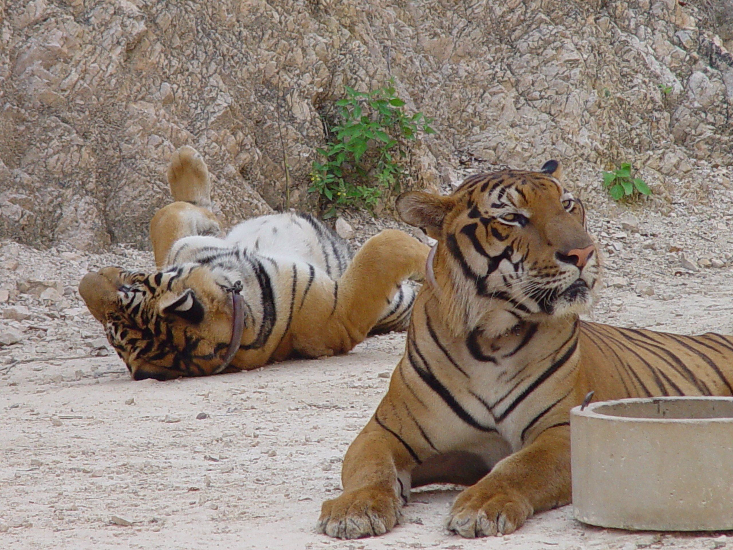 File:Tigers in the Tiger Temple, Thailand.jpg - Wikimedia ...