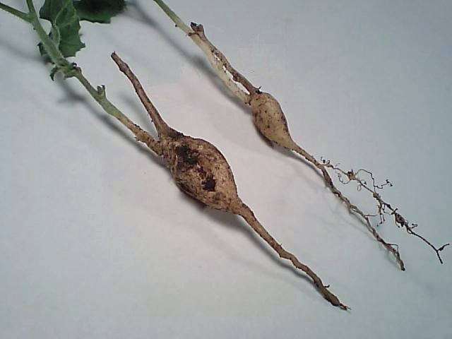 Que es la multiplicacion vegetativa asexual