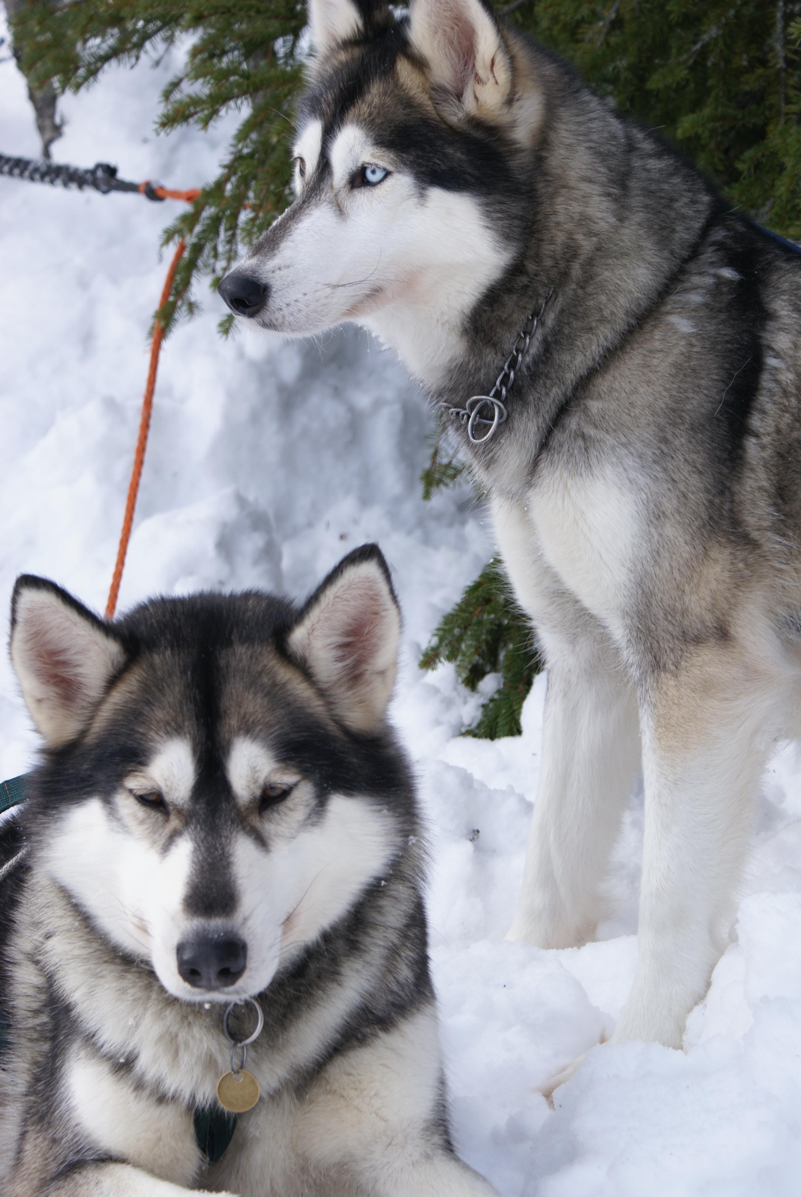 Best 25  Siberian husky dog ideas on Pinterest