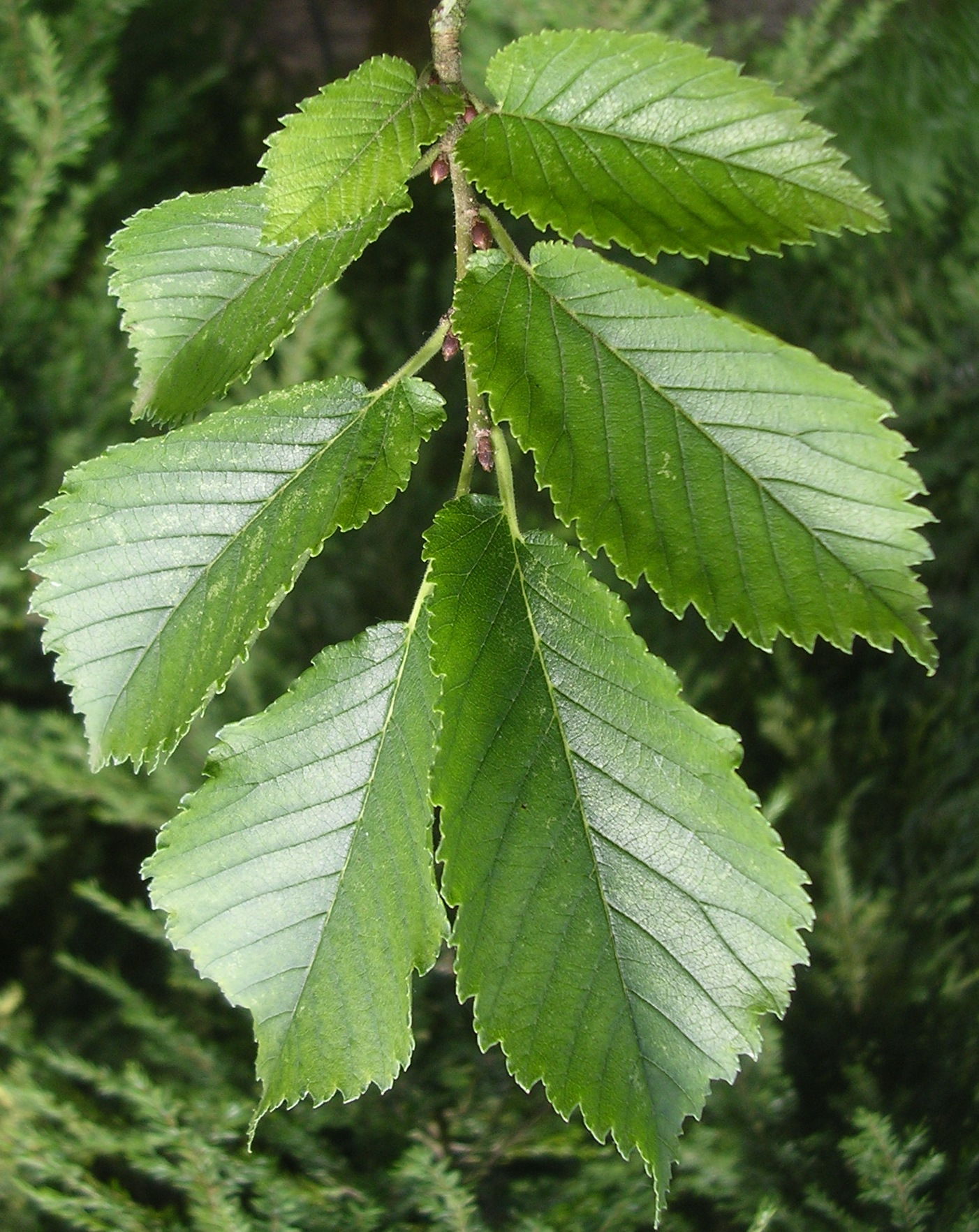 Image result for ulmus leaves